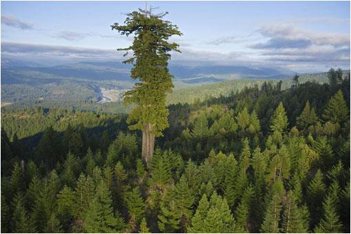 Los 10 árboles Más Altos Del Planeta Lareserva Com