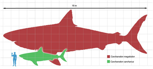 El Tiburon Blanco - Carcharodon Carcharias