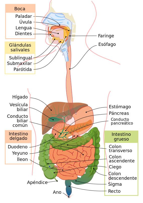 Las etapas de la digestión | La Reserva