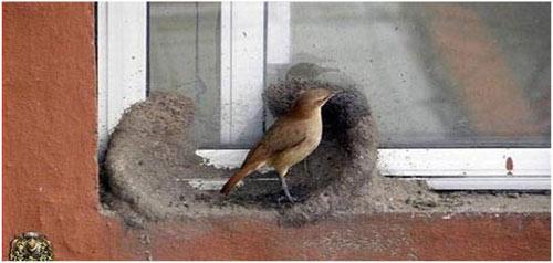 Pareja de horneros construyendo su nido taringa for Costruendo su a casa mia