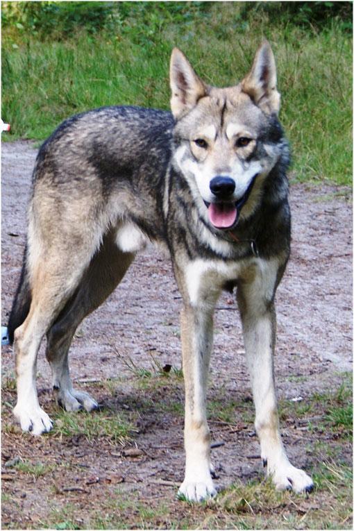 perros lobos - perros de raza y callejeros