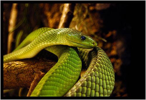 las 5 serpientes mas venenosas del mundo
