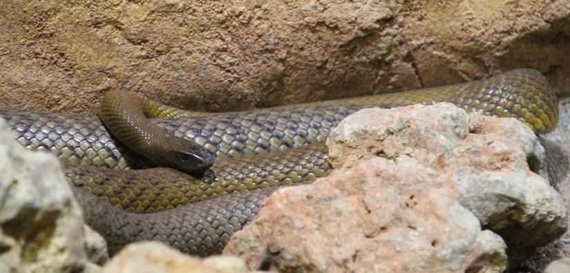 Las 5 Serpientes Mas Venenosas Del Mundo Lareserva Com