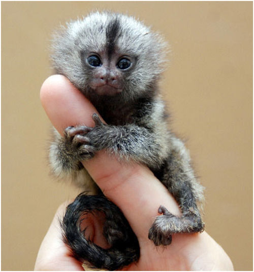 Monos titi bebés tiernos - Imagui