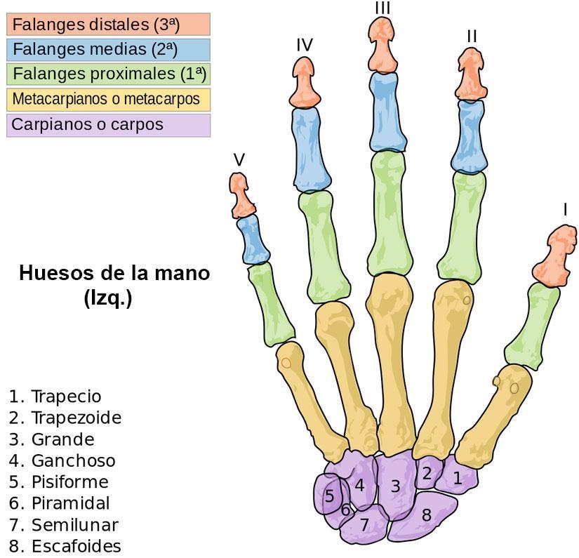Cuántos huesos tiene la mano? | La Reserva