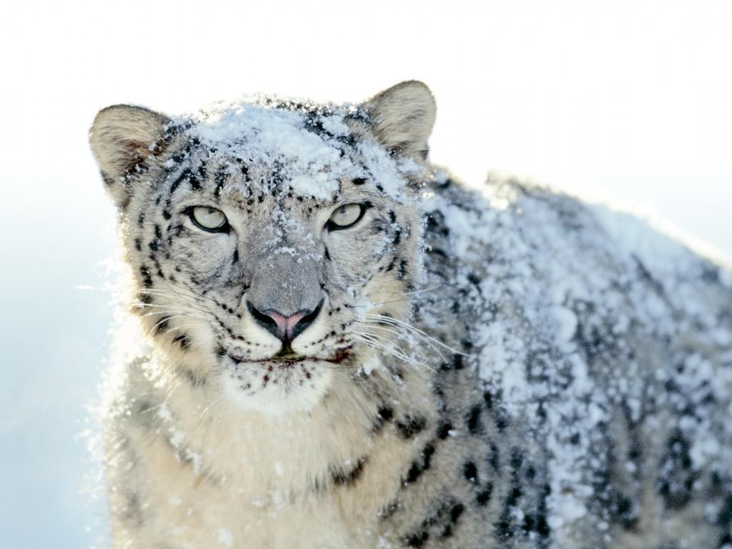 Leopardo de las nieves (Uncia uncia) | La Reserva