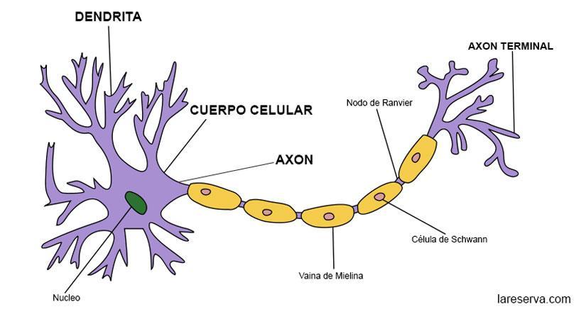 Cuáles Son Las Partes De Una Neurona Lareserva Com