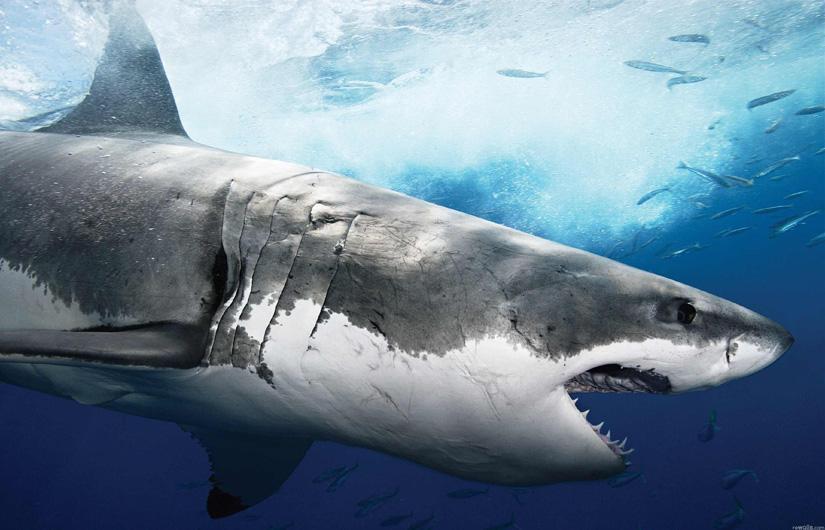 Resultado de imagen para tiburones atacan humanos