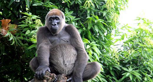 Resultado de imagen para gorila del rio cross