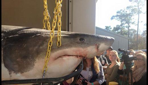 Reproducción y gestación del tiburón   La Reserva