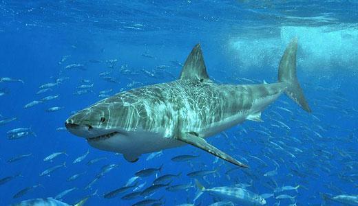 El Tiburón Blanco (Carcharodon Carcharias) | La Reserva